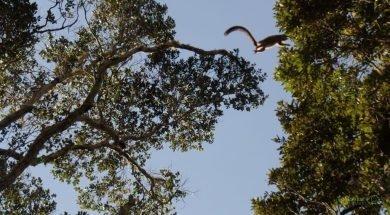 Analamazaotra Milli Parkında Lemur, Andasibe, Madagaskar