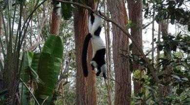 Black White Ruffed Lemur, Madagaskar Lemurları