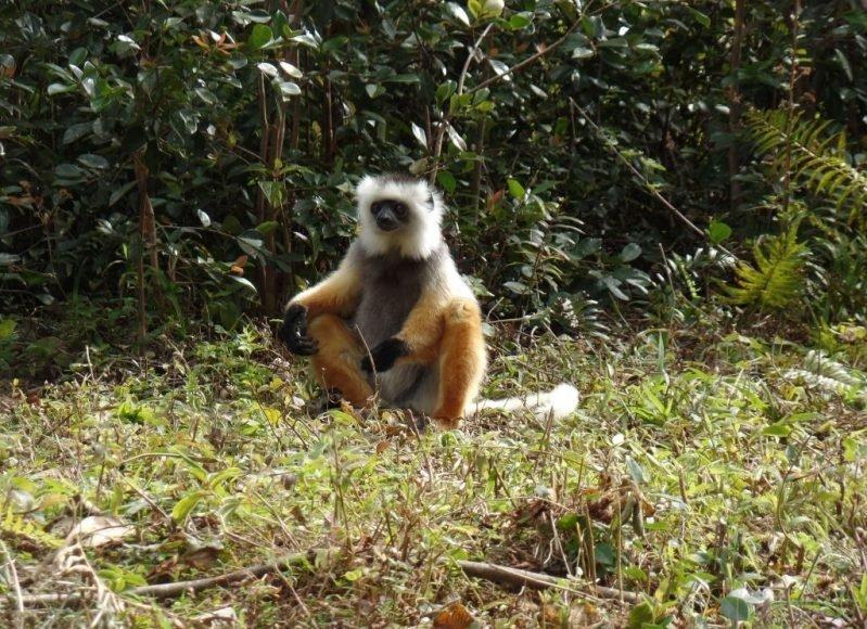 Diademed Sifaka, Madagaskar Lemurları