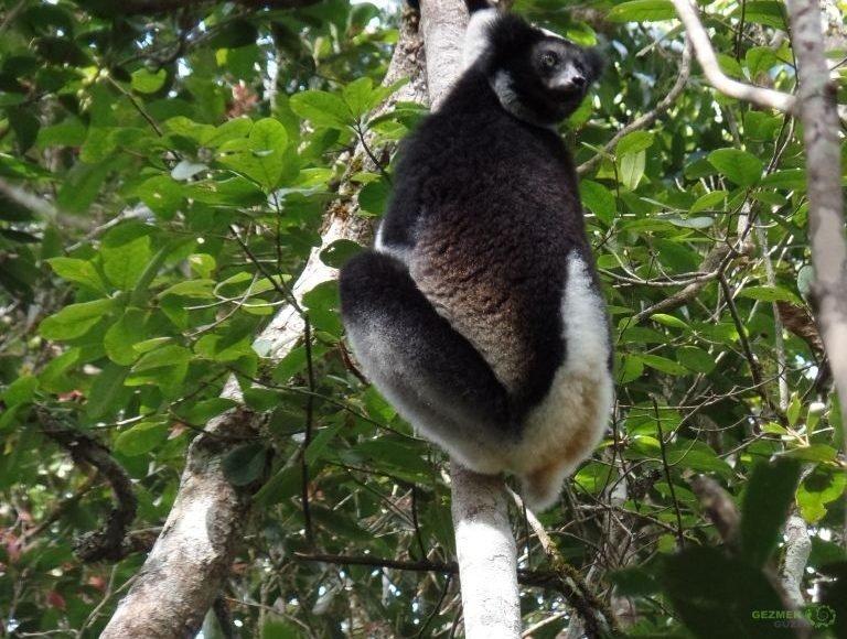 Indri, Madagaskar Lemurları