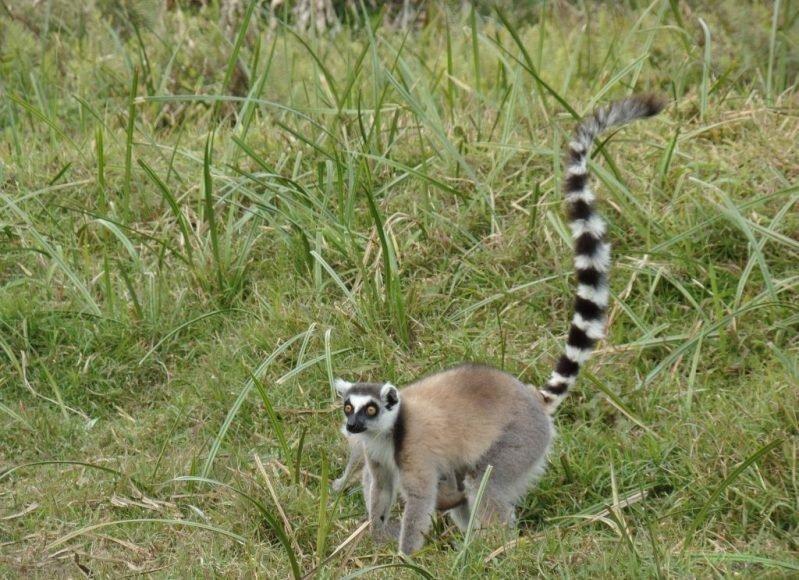 Ring Tailed Lemur, Madagaskar Lemurları