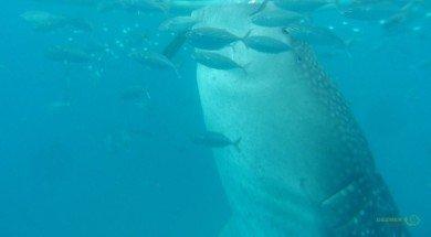 Balina Köpekbalığı beslenirken, Balina Köpekbalığı Dalışı, Filipinler Gezisi Notları