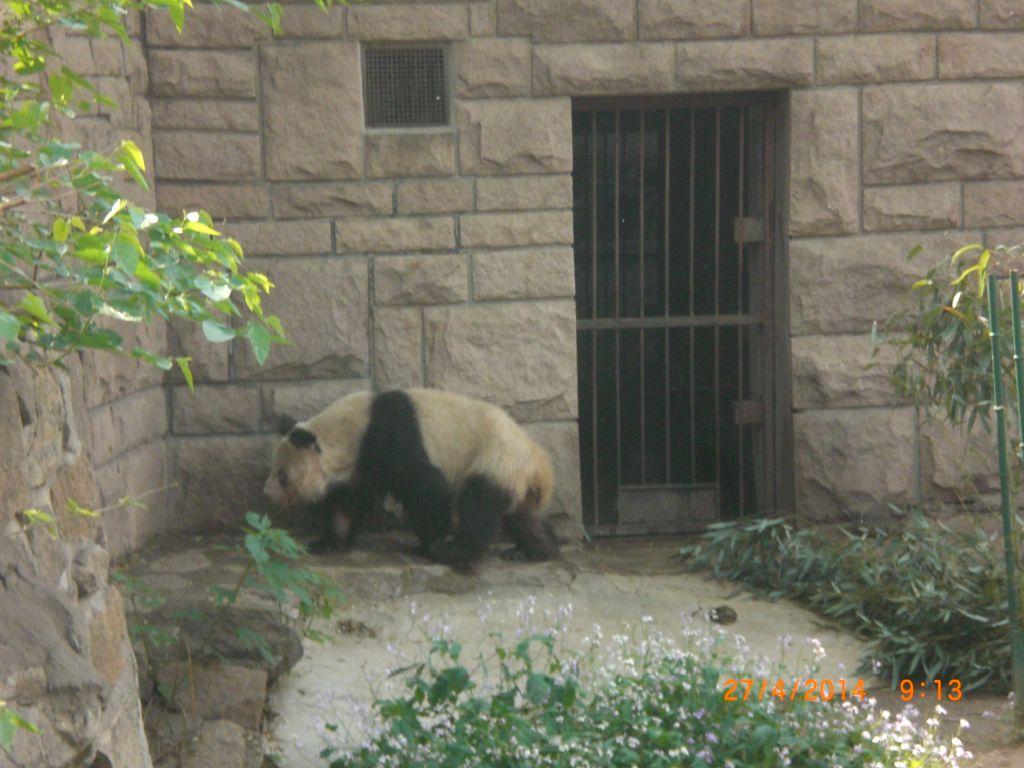 Pekin'de panda