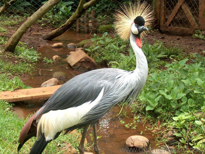 Dünyanın en Güzel Kuşu Sekreter Kuşu, Kenya