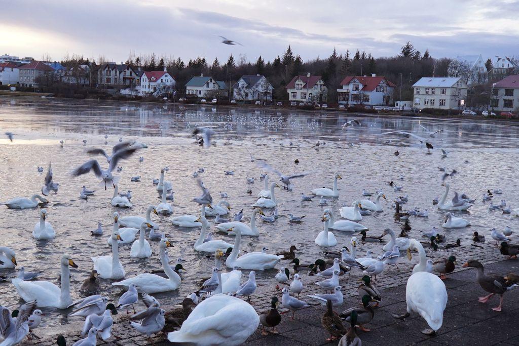 Reykavik'ın kuğuları