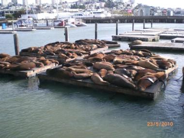 San Francisco Pier 39'un fokları
