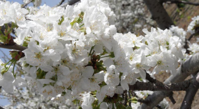 Kemalpaşa'da kiraz çiçekleri
