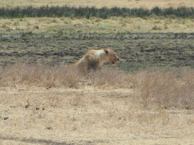 Ngorongoro'da aslan avda