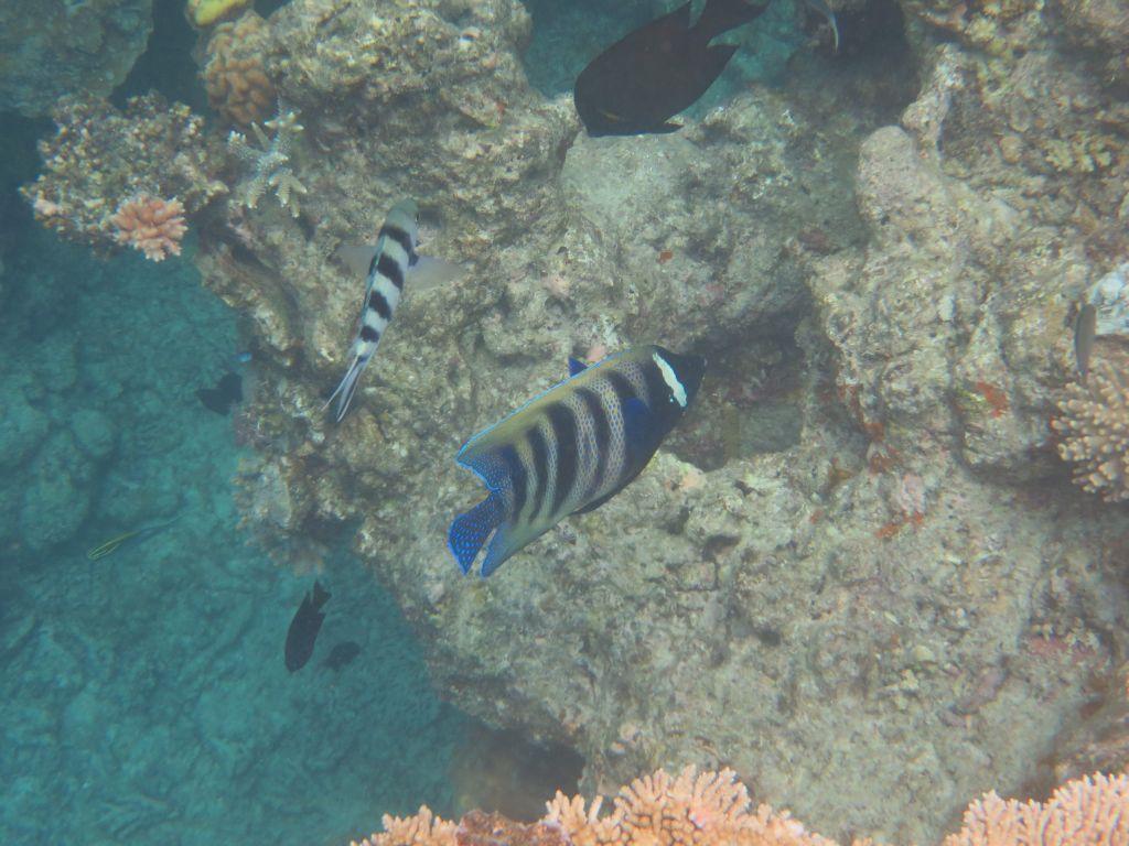 Büyük resif balıkları