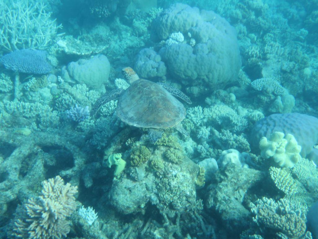 Büyük Resifte Kaplumbağa