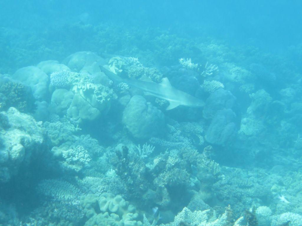 Büyük Resifte Köpekbalığı