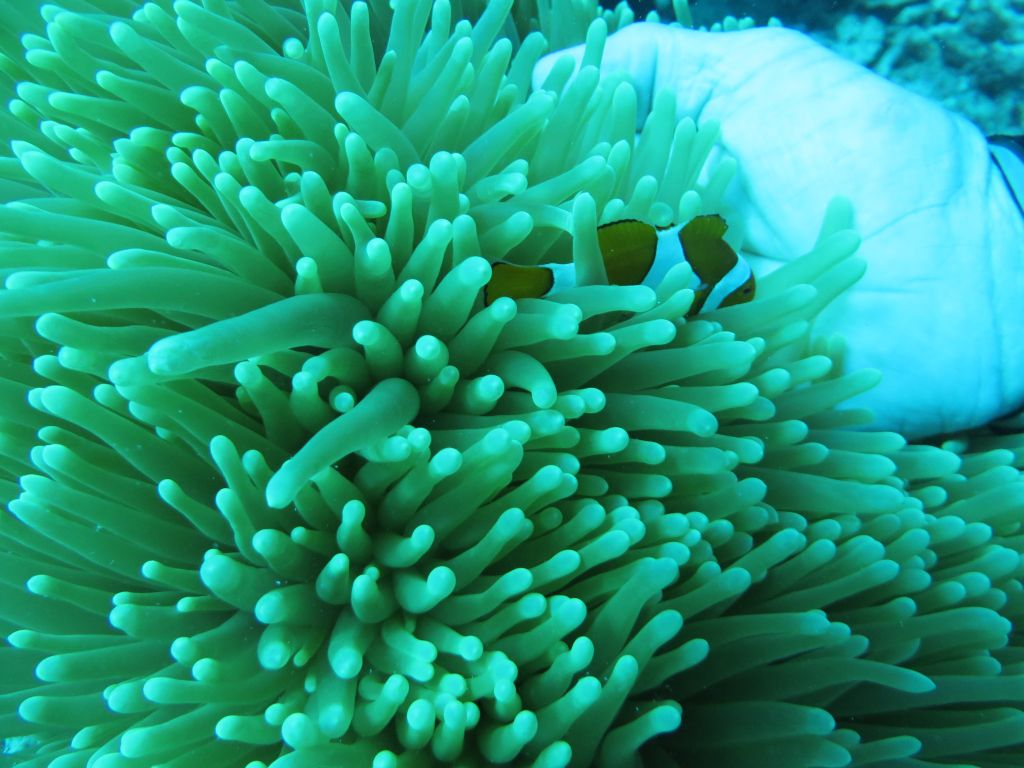 Büyük Resifte Nemo'yu bulduk
