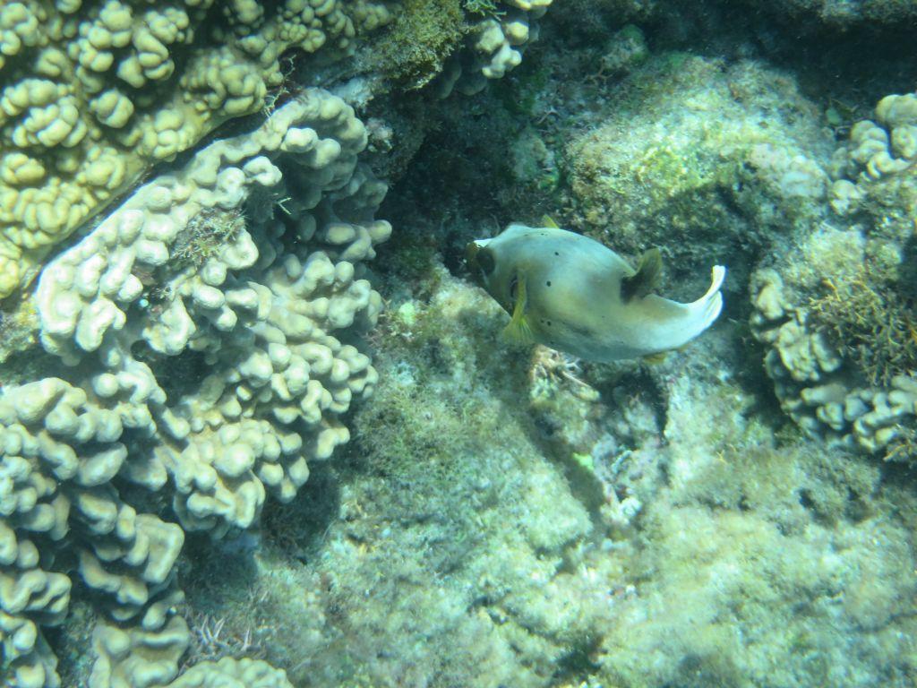 Büyük Resifte Balon Balığı