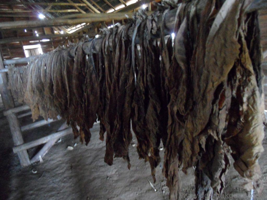 Küba Gezisi Notları, Pınar Del Rio Gezisi Notları, Tütün Çiftliği