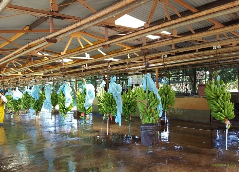 Muz Fabrikası, Kosta Rika