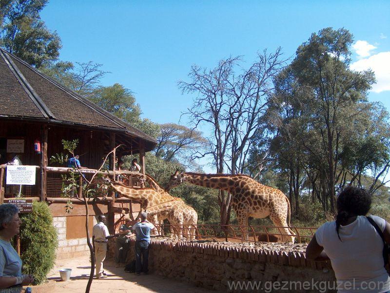 Nairobi Gezilecek Yerler Zürafa Park Kenya
