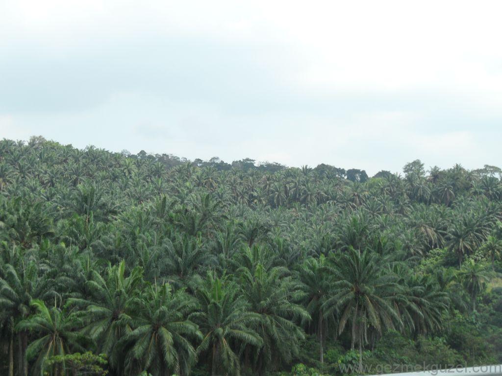 Palmiye Ormanları, Malezya Gezisi Notları