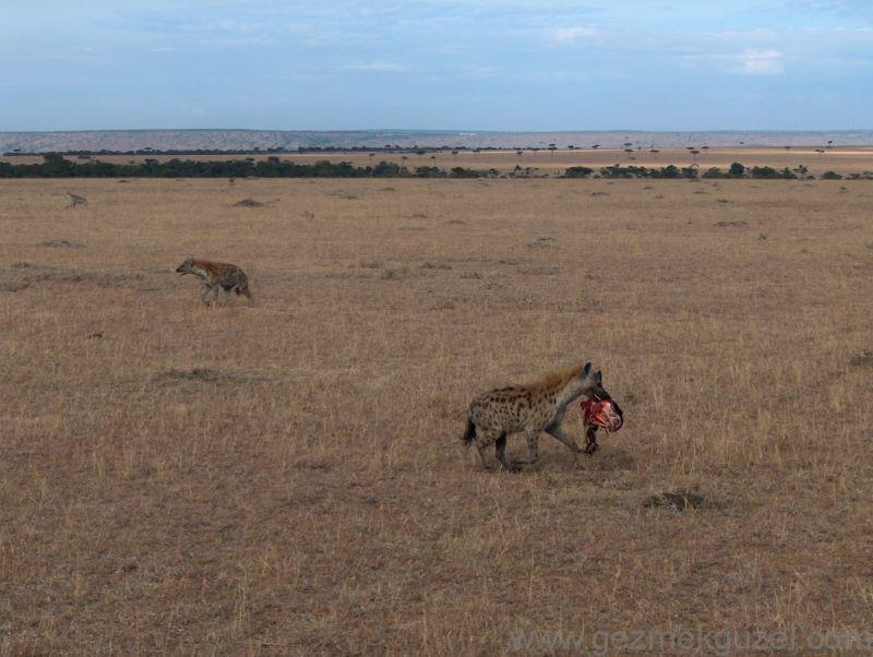 Safaride Sırtlanlar Kenya